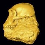 Le crâne de Karabo, un Australopithecus sediba ayant vécu voici deux millions d'années, a été reconstruit à partir d'un reste fossile découvert dans la grotte de Malapa (Afrique du Sud). © University of the Witwatersrand, Johannesburg.