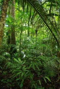 © IRD/Thomas Couvreur. La famille des palmiers, très diversifiée en Amazonie (ici au Brésil), comprend de nombreuses espèces domestiquées et largement disséminées par les populations amérindiennes précolombiennes.