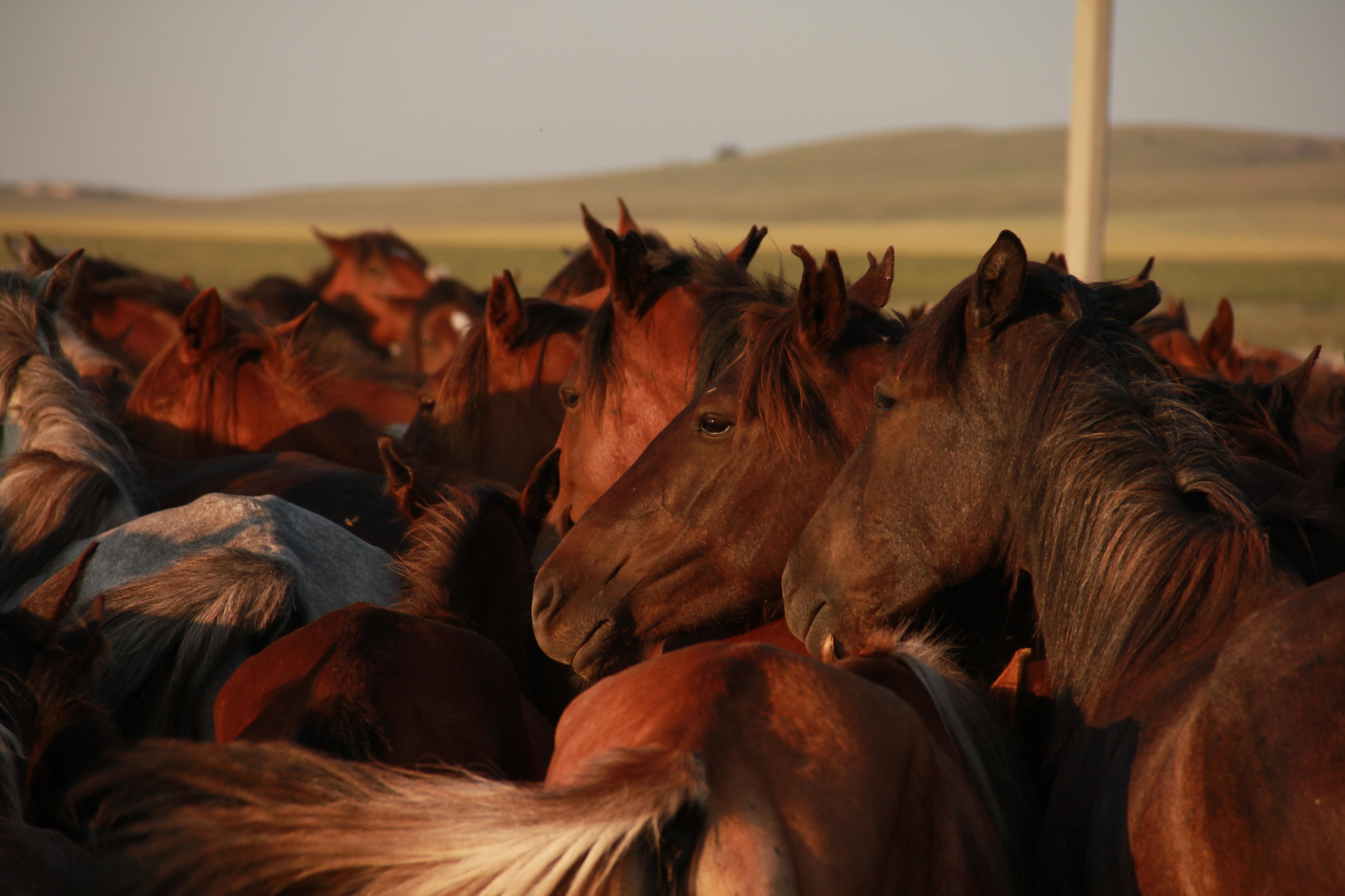 Kazakh-Horses