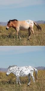 R econst itu tion  de  chevaux  de  Botai  basée  sur  l'étude génétique .  C ertain s  des  chevaux  se  sont  révélés  porteurs  de  variants  génétiques  causant  des  robes  aux  motifs  blancs ou léopard.  ©  Photograph ie de Ludovic Orlando, retravaillée par Sean  Goddard  et Alan Outram.