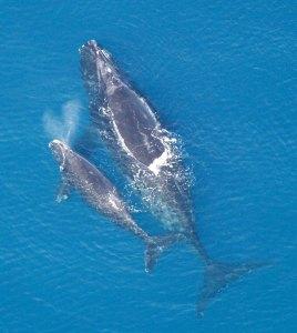 Une baleine franche (Eubalaena glacialis) et son baleineau en Atlantique Nord. Cette espèce a quasiment disparu suite à des siècles de chasse. Aujourd'hui seulement une petite population persiste au mlarge des côtes de l'Amérique du Nord. L'étude des écologue archéologue révèle que cette espèce se rendaity en Méditerranée pour se reproduire. © NOAA. Photo service de presse.