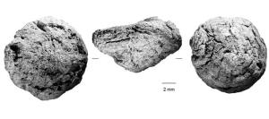 Rhizome d'Hypoxis découvert à Border Cave dans dans des couches archéologiques datées à 170 000 ans. © Lyn Wadley.