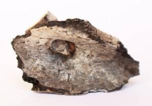 Pointe de silex fichée dans une omoplate carbonisée. © mission Beisamoun. Photo service de presse.