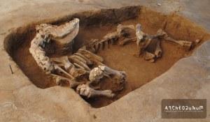 Fig. 7 : Jeune vache enterrée plus au sud (ne manque que le haut du crâne). © Archeodunum 2020.